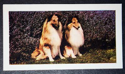 Shetland Sheepdog     Original Vintage Colour Photo Card    Excellent Condition