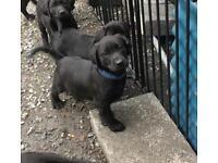 Labrador Pups - Black