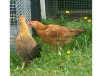 Male and female chick chickens