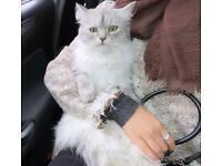 Persian x Ragdoll x Tabby kittens for sale