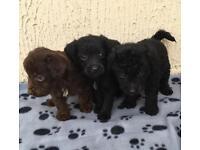 Toy jackapoo puppies