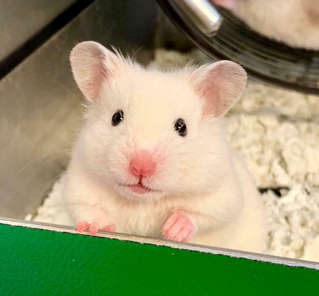 Tame Baby Syrian Hamsters White & Cream Colour | in Croydon, London |  Gumtree