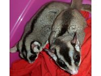 Sugar Gliders and Set Up