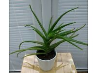 Large Aloe Vera Plant, approximately 13 inches tall, very healthy