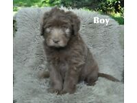 Beaded collie cross Labradoodle puppies for sale