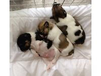 Stunning Jack Russell puppy