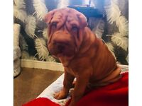 Shar Pei puppy 14 weeks old