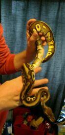 Royal python pastave pastel Mojave