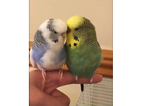 Male and Female budgies with cage and toys! COLLECTION ONLY