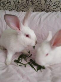 New zealand white x Californian babies