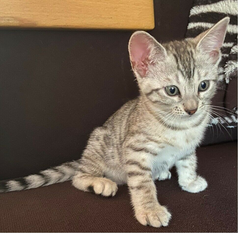 Bengal Kittens For Sale In Evesham Worcestershire Gumtree