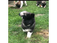 Longcoat Japanese Akita Puppies Ready Now