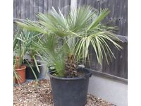 MEDITERRANEAN FAN PALM, HARDY TO MINUS 12, ESTABLISHED, LOTS OF GROWTH, CAN DELIVER