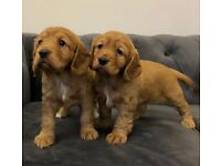 STUNNING KC REGISTERED RED COCKER SPANIELS FOR SALE