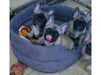 French bulldog puppies STUNNING
