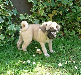 Gorgeous 3/4 Pug puppies