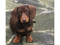 Female Dachshund