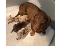 Kc Registered Miniature Dachshund Puppies Carrying Isabella