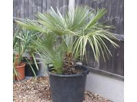 MEDITERRANEAN FAN PALM, -12 HARDY ESTABLISHED LOTS OF GROWTH, CAN DELIVER