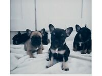 French bulldog litter beautiful Bella ❤️