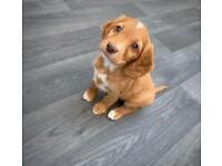 Beautiful Bert show cocka spaniel pup for sale