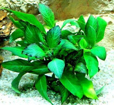 Hygrophila corymbosa Kirschblatt Riesenwasserfreund Wasserpflanzen Aquarium ()