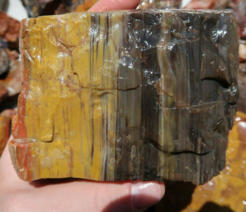 One Pound Petrified wood Circle Cliffs, Blue Forest, Henry Mountains, Sweet Home