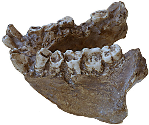 Gigantopithecus blacki mandible - a resin copy of original