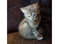 12 week grey kitten