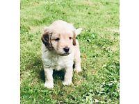 Cockapoo puppies 🐶