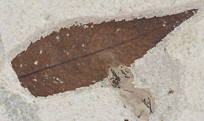 Fossil Leaf Excellent Platycarya Unpainted Green River Formation Wyoming COA