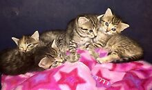 KITTENS 4 SALE!! Nerang Gold Coast West Preview