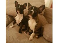 Male French Bulldog puppies for sale