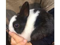 Netherland dwarf baby rabbit
