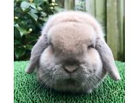 Georgeous pure bred Mini lop for sale