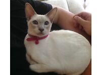 Siamese old fashioned lilac point cat older kitten oriental blue female pale chocolate blue eyes