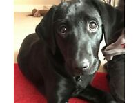 5 month old black Labrador puppy