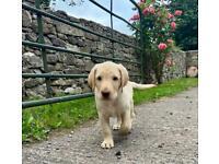 Purebred labrador pup