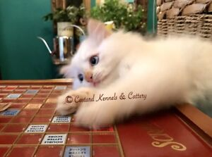 Stunning R3H1 Ragdoll Kitten **READY TO GO**