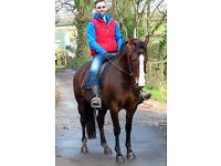 Genuine 15.2hh 7y QH xTB mare for sale