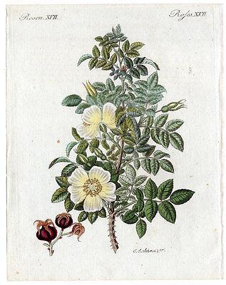 Rosen - Schottische Rose - Blume - Botanik - Kupferstich aus Bertuch um 1800