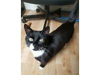 Black and white female cat - neutered
