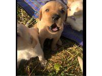 KC pure bred Golden Labrador puppies