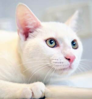 AK0668 : Smudge - CAT for ADOPTION - Vet work included Wundowie Northam Area Preview