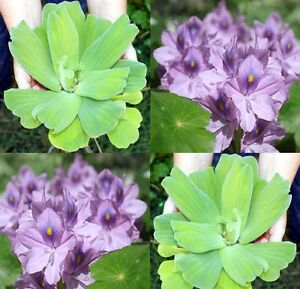 2-Water-Lettuce-and-2-Water-Hyacinth-Floating-Pond-Plants-Oxygenating-Clarifying