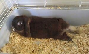 Free lop eared bunny PPU