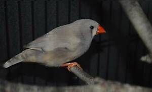 Pair Of Breeding Zebra Finches South Morang Whittlesea Area Preview