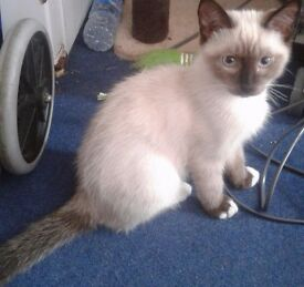 1 gorgeous male ragdoll x blue eyed kitten for sale