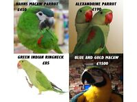 Green Ringneck, Alexandrene , male hahns macaw, blue and gold macaw parrot for sale with cage option