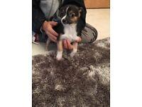 Pedigree chihuahua pups for sale